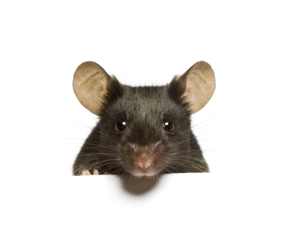 Mouse Model Yields Possible Treatment >> Why The Mouse