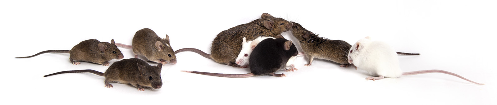 Unlike inbred strains, Diversity Outbred (DO) mice are genetically diverse, allowing more accurate modeling of the human population.