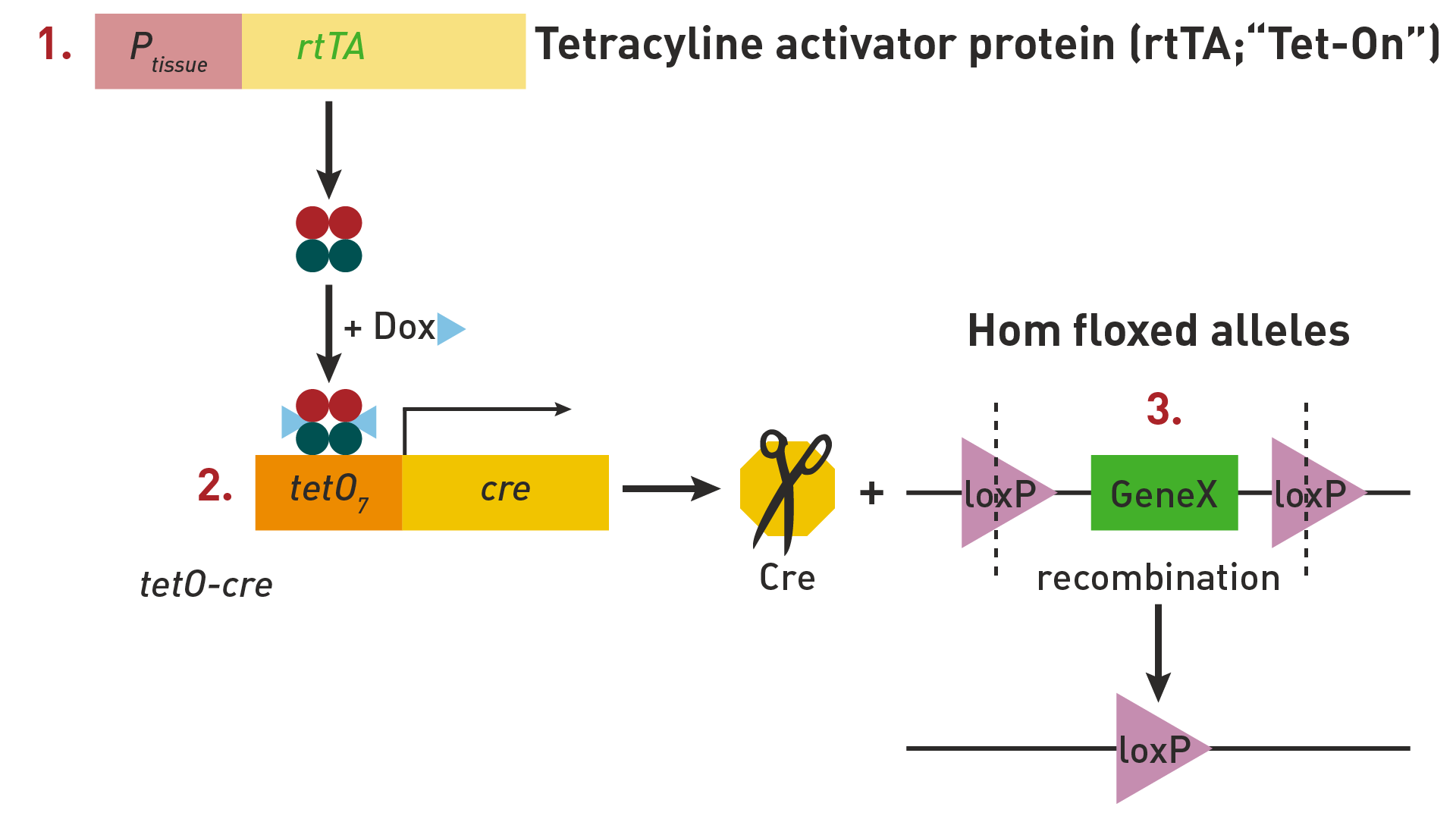 tetracycline activator protein