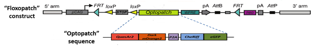 optopatch_1