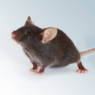 Obesity genetics in mouse and human: back and forth, and back ...