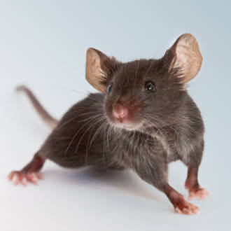 Image result for lab mouse pictures
