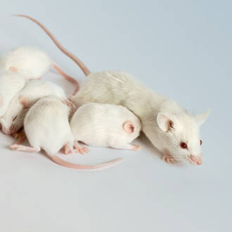 white mouse group