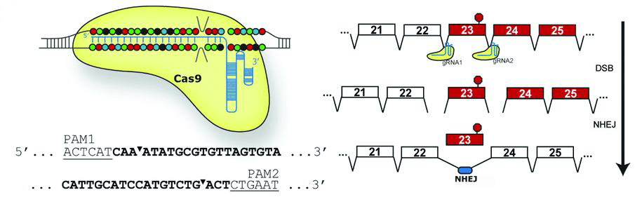 CRISPR-Cas9–based treatment of myocilin-associated ...