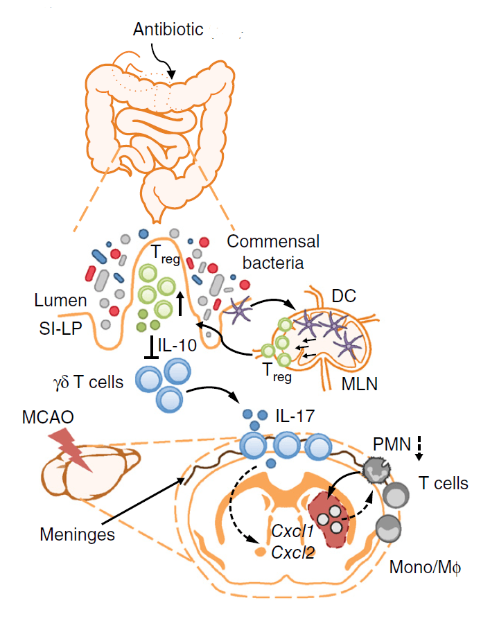 schematic antibiotic induced dysbiosis