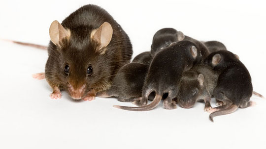 Knockout mice, black 6 mouse