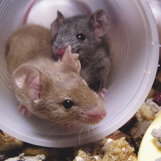 Mice with food.