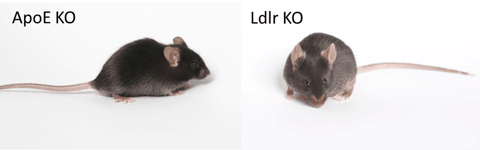 Which JAX mouse model is best for atherosclerosis studies ...