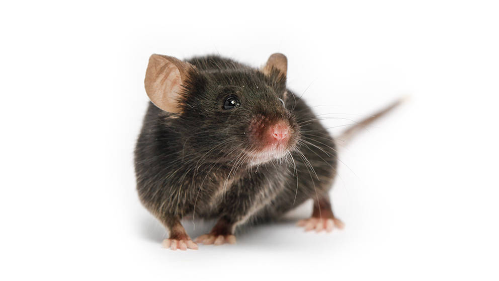 more-researchers-are-using-b6j-mice-than-ever-before