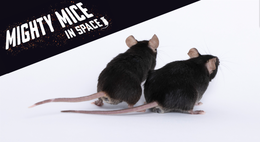 December mighty mice head to space on important health mission