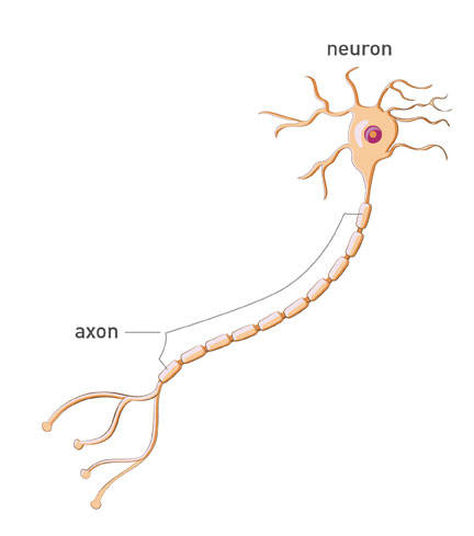 A malformed GARS enzyme is believed to be toxic to axons, the long nerve cell fibers that transmit signals to motor and sensory cells in the limbs and other parts of the body.