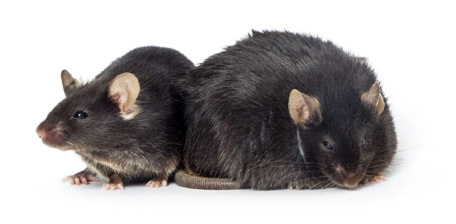 btbr ratones diabetes cure