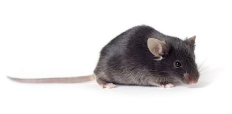 Nobiletin exhibits anti-atherogenic and anti-diabetic properties in mice