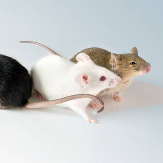 multi mice group
